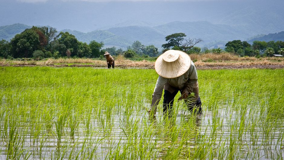 thailands-rice-farmers